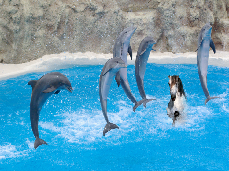Dolphins jumping, with racehorse trying to stay afloat beneath them.